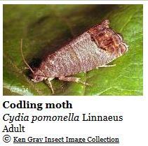 codling_moth