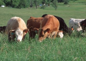 grazing-cattle1